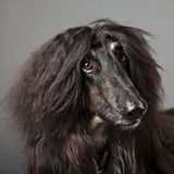 Afghan dog Royalty Free Stock Images