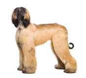 Afghan Dog on white Stock Photography