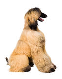 Afghan Dog on white Royalty Free Stock Photos