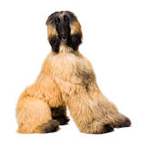 Afghan Dog on white Royalty Free Stock Photography