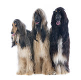 Afghan dogs Stock Images