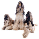 Afghan dogs Royalty Free Stock Photography