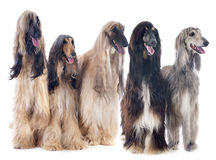 Afghan dogs Royalty Free Stock Photos