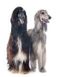 Afghan dogs Stock Photography