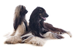 Afghan dogs Stock Image