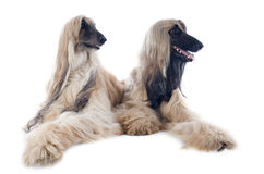 Afghan dogs Royalty Free Stock Images