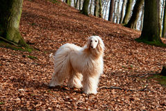 Afghan hound-1. Afghan hound on walk in forest Royalty Free Stock Photography