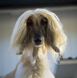 Afghan hound. The afghan hound bitch portrait Royalty Free Stock Photography