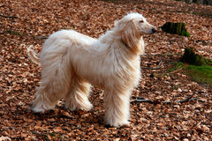 Afghan hound-2 Stock Photo