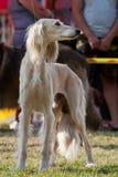 Afghan hound Stock Image