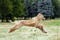 Afghan hound Stock Photography
