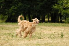 Afghan Hound Royalty Free Stock Image