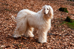Afghan hound-3 Royalty Free Stock Image