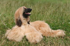 Afghan Hound. Laying on grass royalty free stock photo