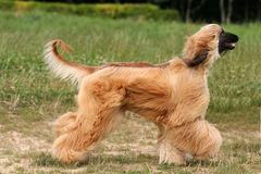 Afghan Hound. Run on grass Stock Images