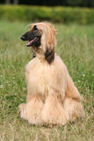 Afghan Hound. Sitting in grass royalty free stock images