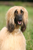 Afghan Hound. On grass background Stock Images