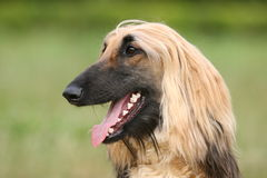 Afghan Hound. Portrait on grass background Stock Photo