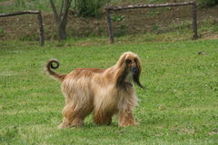 Free Afghan Hound Stock Images - 72404394