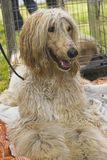 Afghan hound. On the exhibition Stock Image