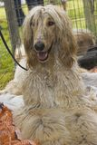 Afghan hound. On the exhibition Royalty Free Stock Photo
