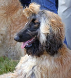 Afghan Hound Stock Photos