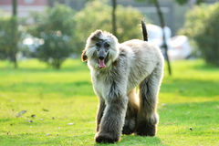 Afghan hound Stock Photo