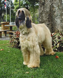Afghan hound adult standing Stock Images