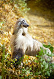 Afghan Hound autumn portrait Stock Image