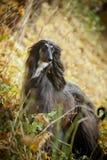 Afghan Hound autumn portrait Stock Photos