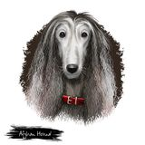 Afghan Hound breed digital art illustration isolated on white. Cute domestic purebred animal. Hound distinguished by its. Afghan Hound breed digital art Royalty Free Stock Photography