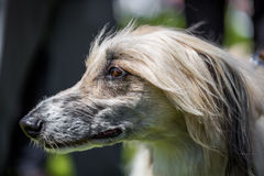 Afghan hound Royalty Free Stock Photo