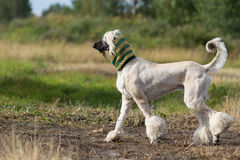 Afghan Hound dog. In crochet scarf Stock Images
