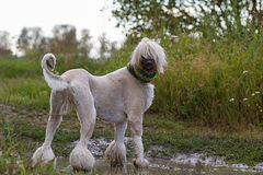 Afghan Hound dog. In crochet scarf standing in a puddle Stock Photo