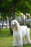 Afghan hound dog Royalty Free Stock Images