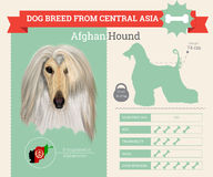 Afghan Hound dog breed  infographics Royalty Free Stock Image