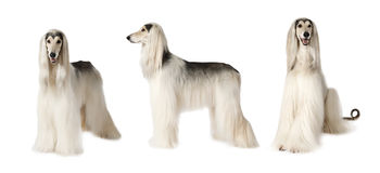 Afghan hound dog over white