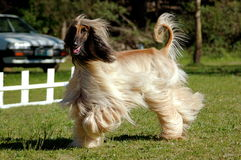 Afghan hound dog running. A beautiful male purebred Afghan hound dog running in the park outdoors Stock Photos