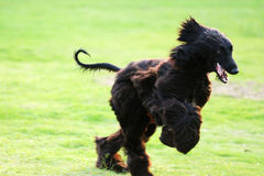Afghan hound dog running Stock Photo