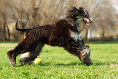 Afghan hound dog running with the ball Stock Photos
