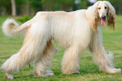 Afghan hound dog walking Royalty Free Stock Photos