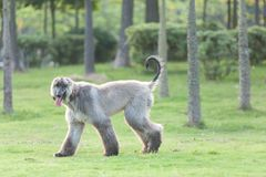 Afghan hound dog walking Royalty Free Stock Image
