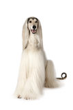 Afghan hound dog  on white background Royalty Free Stock Image