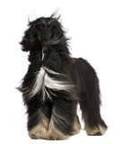 Afghan Hound with his hair in the wind. 4 years old, standing in front of white background stock images