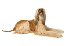Afghan hound isolated on white. Thoroughbred dog Afghan hound  isolated on white background Stock Images