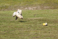 Afghan hound at lure coursing race Stock Photography