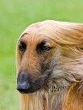 Afghan hound portrait with copy space Stock Image