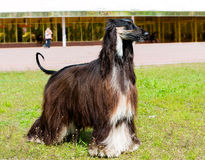 Afghan Hound profile. Royalty Free Stock Photo