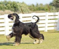 Afghan Hound. A profile view of a healthy beautiful grizzle, black and tan, Afghan Hound walking on the grass looking happy and cheerful. Persian Greyhound dogs royalty free stock images