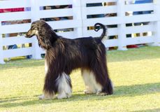 Afghan Hound. A profile view of a healthy beautiful grizzle, black and tan, Afghan Hound walking on the grass looking happy and cheerful. Persian Greyhound dogs royalty free stock image